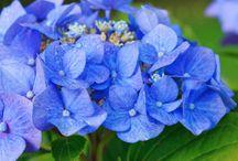 Pruning flowers & Hydrangeas