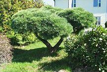 садовый бонсай
