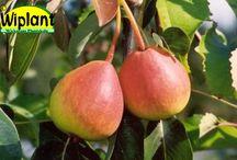 Päron / Ett urval sorter från vårt päronsortiment