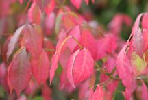 How to Create Autumn Colour in the Garden / This board is all about autumn colour from all the wonderful foliage to interesting shrubs herbaceous flowers.