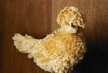 Hühnerrassen