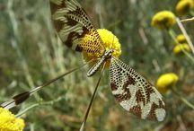 Dragonflies & Hummingbird Pictures