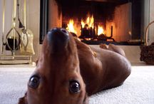 Dacshunds.Gotta LOVE a hotdog!Love you Cassie girl. / by Callene Corkan