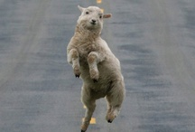 Happy sheep!