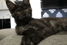 Maine Coon - Odin