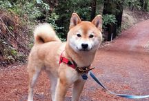 shiba babies / it's gotten to the point where I love shiba inus with a passion