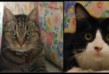 My Cats / Tom (the tabby) 1997-2015  Boots (the tuxedo) 2015- / by Lori Sloan