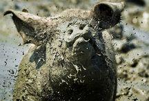 Забавные свинки