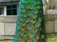 All Kinds Of Peacock Feathers