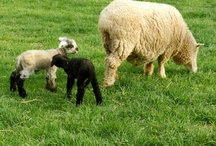 Spring Lambs / Spring means it's time for lambs on the farm! Here are some of our newest Romney lambs.
