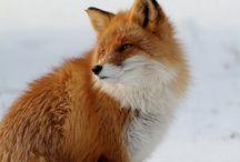 Rókák/Foxes