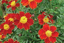 I Love Marigold Flowers