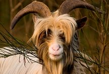 Year of the Goat / 2015, Year of the Wood Goat / by ThreeOldKeys