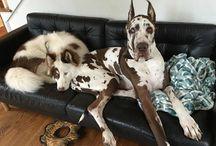 Big sweet dogs