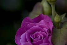 Rosas Púrpuras