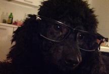 My poodles... Pepe&Lulu'
