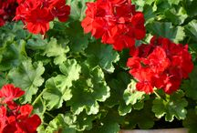 Geraniums in their Glory