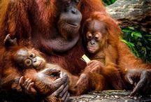 Orangutans apes chimps