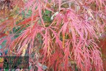 Acer Maple