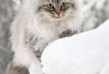 Chats de neige