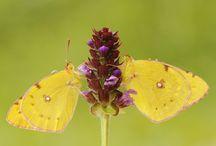 Butterflies - Clouded Yellows - Geeltjes