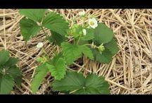 fraise et fraisier / Comment planter et cultiver des fraisiers ? Les variétés de fraise et fraisier. Fraisier remontant ou non-remontant