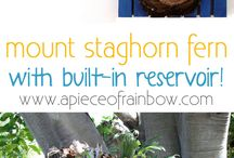 staghorn repoting