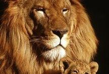 Lions etc