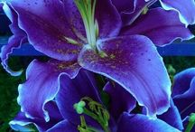 Lilies and Irises - Varieties / Lilies and Irises for raised bed