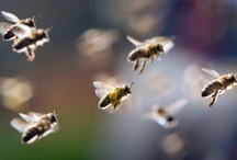 Bees and Honey / Pure sweet honey from our friends the bees... / by Jill Gray