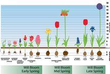 Growing Flowering Bulbs