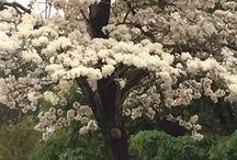 Arvores floridas