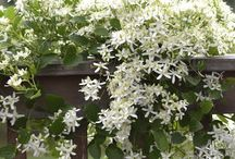 Vines for Summer Shade / Here are some deciduous vine options for a trellis/arbor on the west side of your house. A few are US natives and many are fragrant. Remember to mulch the roots with several inches of compost and to water them deeply and regularly.