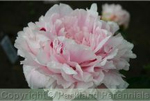 Peonies / by Gillian Rolbein