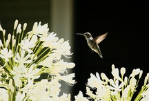 My Hummingbirds