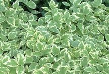 Perennials_Oldie but Goodies and tried and true / Great Perennials that may not be the newest on the market, but have proven to succeed!
