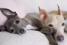 Italian Greyhounds / by Lauren Davenport