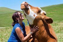 kravičky - cow