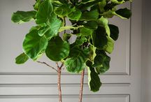Fiddle Leaf Ficus