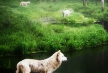 wolves / Love theese intelligent and beautifuls animals.