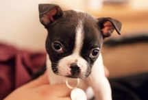 Boston Terrier Puppies / Only the best photos of Boston Terrier puppies featured on iBostonTerrier.com!