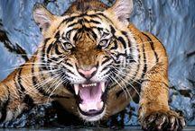 Tigri,Leopardi,e leoni / Tigri,Leopardi,e leoni