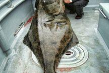 Halibut Flounder Fishing / Halibut fishing tips, flounder fishing tips, trick, pictures and more. http://baitcastfishreels.com