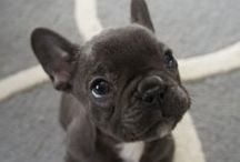 French bulldog are so freaking cute