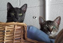 """It Takes Two, Kitty!"" (Adopting Two Cats Together, That Is!) / Not everyone wants to or can adopt two cats together, yet adopting two cats who either are already bonded or who are young enough to bond, is an all-around WIN. You are able to save two lives at once, and the recommended gradual introduction process is a non-issue! Take a look at the precious bonded kitties we have, and be sure to visit our website to see their videos."