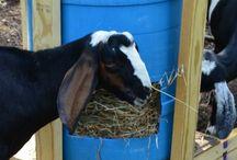 Goaties and Sheep- Maaah Bahh