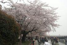 SAKURA Blossom~