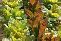 Romaine Lettuce  / Doe Run Farms, CSA local farm in Southern middle Tennessee close to Alabama.