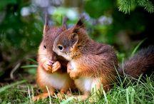 écureuils/suisses...