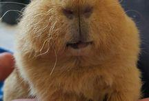 ❤mes bébés : fluffy et spartacus❤ / mes petits cochons d'inde d'amour guinea pigs